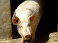 非洲猪瘟暴发 杜特尔特宣布菲律宾进入国家灾难状态