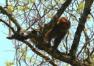 全球易危物种北豚尾猴现身云南龙陵