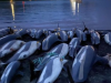 1428只海豚被捕杀!法罗群岛将对海豚捕捞进行评估