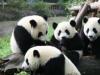 大熊猫小种群面临灭绝风险 栖息地破碎化现状亟待改善