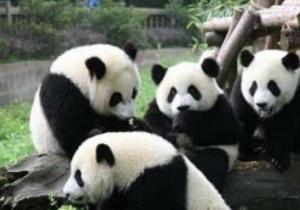 大熊猫小种群面临灭绝风险 栖息地破碎